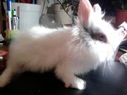 декоративные кролики- ангора