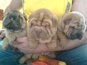 продам очаровательных щенков шарпея разных окрасов