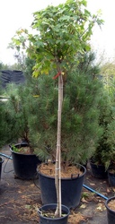 КленплатановидныйGlobosaCo  25150-175 Pa  Ландшафтный дизайн, озеленение