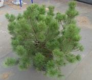 СоснагорнаяPumilioCo 25  Ландшафтный дизайн, озеленение