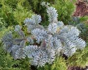 Пихта горная Argentea Со 5  Ландшафтный дизайн, озеленение