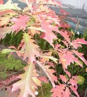 Дуб красный Cо 5 (осень)  Ландшафтный дизайн, озеленение