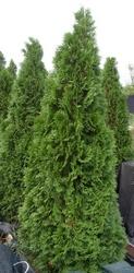 Туя западная Smaragd Со (140-160)  Ландшафтный дизайн, озеленение
