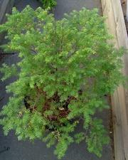 Тсуга канадская Co 12  Ландшафтный дизайн, озеленение
