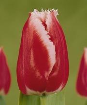Пеларгония тюльпаны и геацинты к 8 марта