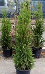 Ель обыкновенная Cupressina Со 39  Ландшафтный дизайн, озеленение