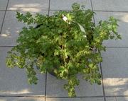 Стефанандра надрезаннолистная Crispa Co 10  Ландшафтный дизайн, озеленение