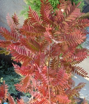 Рябина обыкновенная Red Tip Co 25 (180 Pa)  Ландшафтный дизайн, озеленение