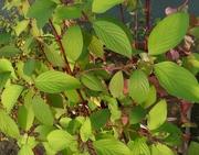 Дерен белый Aurea Co 2  Ландшафтный дизайн, озеленение