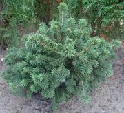 Ель обыкновенная Maxwellii Co 10  Ландшафтный дизайн, озеленение