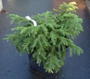 Ель обыкновенная Nidiformis Co 7, 5  Ландшафтный дизайн, озеленение