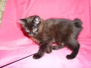 Продам котёнка Курильского бобтейла