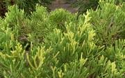 Можжевельник китайский Expansa Aureospicata Co 5  Ландшафтный дизайн, озеленение