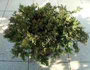 Можжевельник горизонтальный Prince of Wales Co 5  Ландшафтный дизайн, озеленение