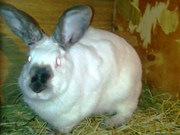 Продам или обменяю чистопородного калифорнийского кроля.