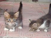 Хорошенькие котята от кошки-мышеловки