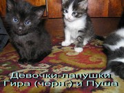 Котята 1, 5 мес. (метисы Турецкой ангоры)