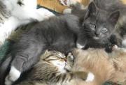 Отдам красивых котят добрым хозяевам,  7 недель,  приучены к лотку