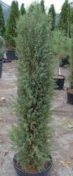Можжевельник обыкновенный Hibernica Co 20   Ландшафтный дизайн, озеленение