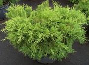 Можжевельник средний Kuriwao Gold Cо 10  Ландшафтный дизайн, озеленение