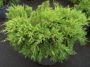Можжевельник средний Gold Coast Co 20  Ландшафтный дизайн, озеленение