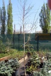Береза Жакмона Doorenbos Co 35 (250-300)Ландшафтный дизайн, озеленение