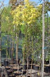 Клен ясенелистный Odessanum Co 20 (160 Pa)  Ландшафтный дизайн, озеленение