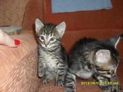 Отдам 2 -х замечательных котят