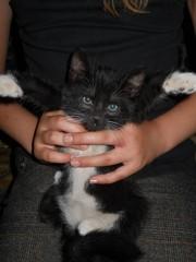 Котята 3-х цветной длинногой кошки-охотницы. Отдам в добрые руки.