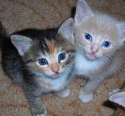 В самые заботливые руки котят от кошки-мышеловки