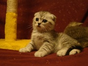 Предлагаются котята шотландские вислоухие вискасных окрасов