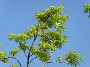 Клен платановидный Palmatifidium Со 20 (160-200Pa) Ландшафтный дизайн, озеленение