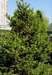 Ель обыкновенная Will's Zwerg Cо 30   Ландшафтный дизайн, озеленение