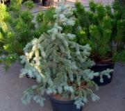 Ель колючая Glauca Pendula Co 20  Ландшафтный дизайн, озеленение