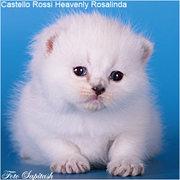 Котята британской серебристой шиншиллы. Питомник