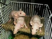 Продам крысят дамбо-сфинкс