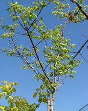 Клен ясенелистный Variegata Co 10 (180 Ра)  Ландшафтный дизайн, озеленение