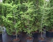 Лиственница европейская Co 10  Ландшафтный дизайн, озеленение