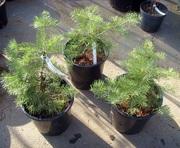 Пихта одноцветная Wintergold Co 5 Ландшафтный дизайн, озеленение