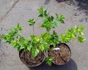 Сирень обыкновенная Aucubeafolia Со 7, 5  Ландшафтный дизайн, озеленение