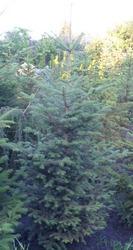 Пихта белая гр. 140-160  Ландшафтный дизайн, озеленение