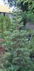 Пихта одноцветная в конт/160-180  Ландшафтный дизайн, озеленение