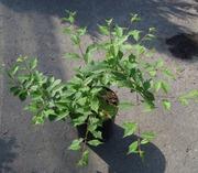 Слива трилопастная Co 7, 5 (куст)  Ландшафтный дизайн, озеленение