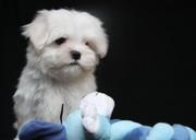 продам щенков мальтийской болонки