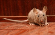 Отдам экзотических лысых крыс фаззов