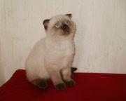 Продам шотландских котят эксклюзивных колорпоинтовых окрасов,  сил-поинт и чокли-поинт.