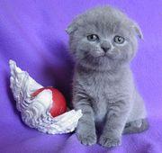 Шотландские котята голубые илиловые
