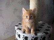 Питомник Magical Lynx предлагает к резервированию котят курильского бо