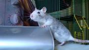 Чудные крыски-девочки (рыжая и хаски) ищут заботливых хозяев!