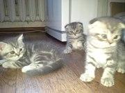 Продам шотландских котят (прямоухие и вислоухие)